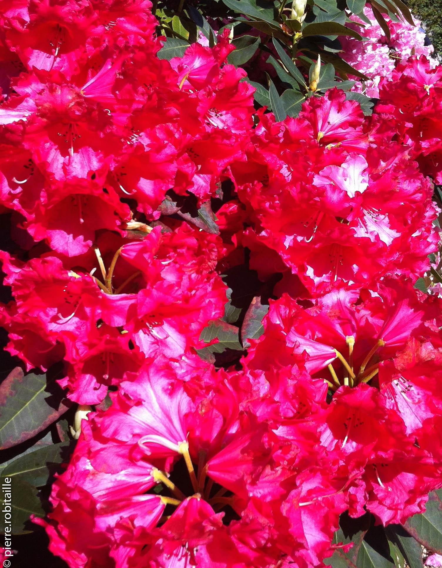 Rhododendron de Pentecôte (Jardin des plantes, Angers, 49)